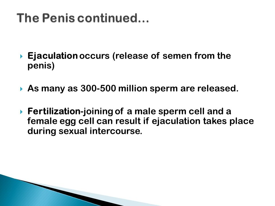The Penis continued… Ejaculation occurs (release of semen from the penis) As many as 300-500 million sperm are released.