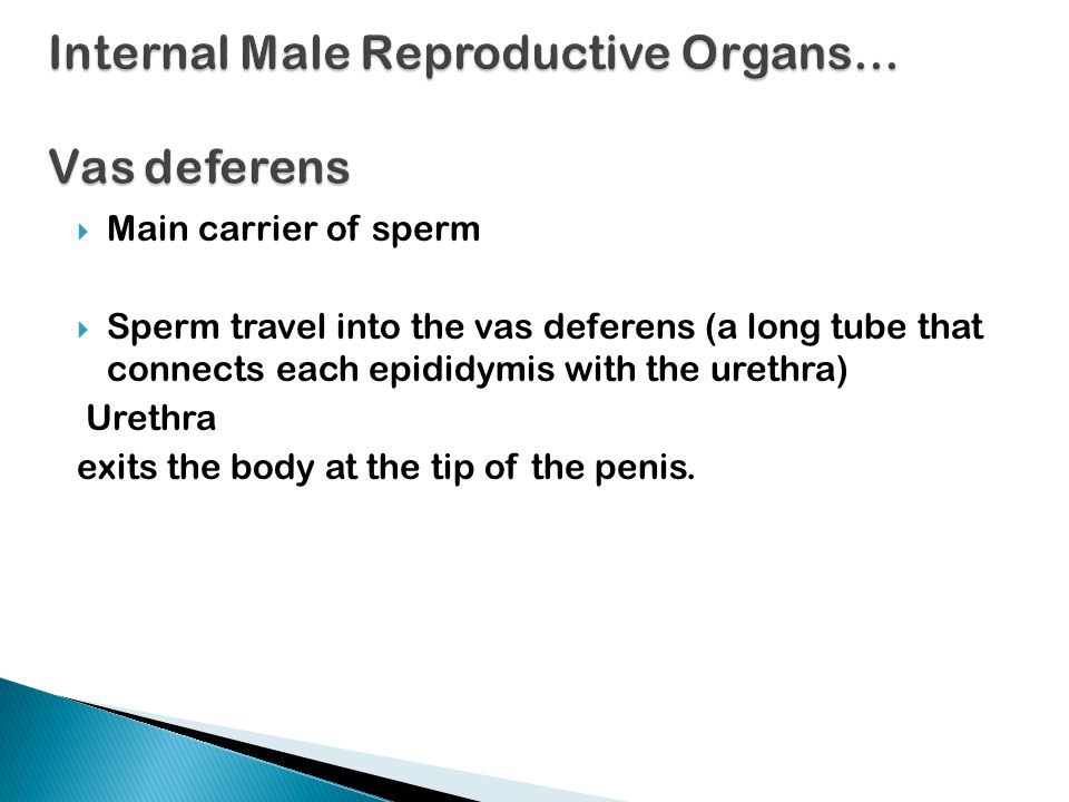 Internal Male Reproductive Organs… Vas deferens