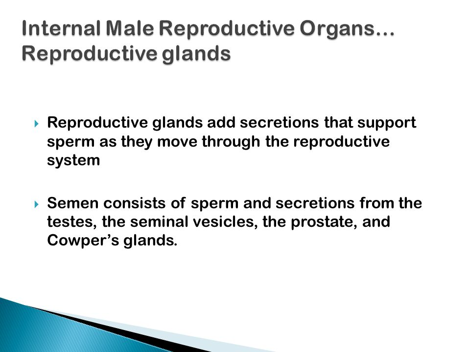 Internal Male Reproductive Organs… Reproductive glands