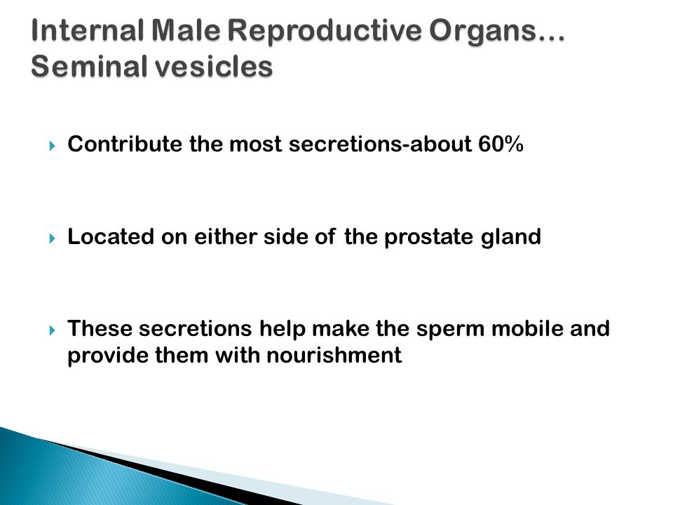 Internal Male Reproductive Organs… Seminal vesicles