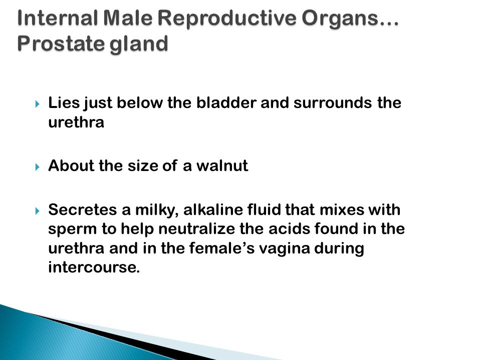 Internal Male Reproductive Organs… Prostate gland
