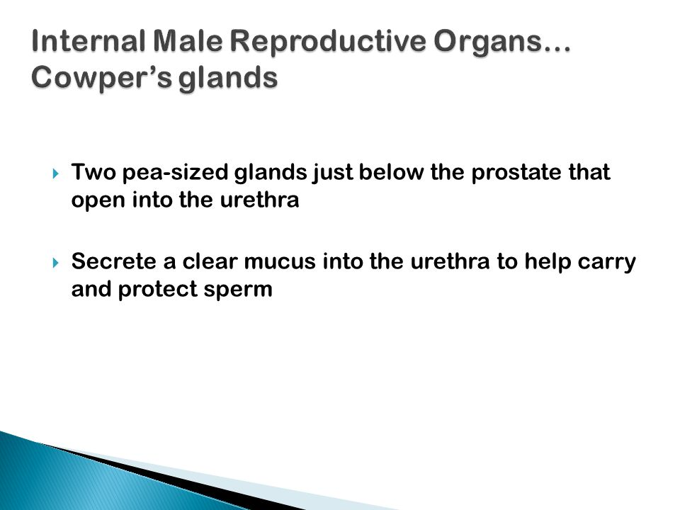Internal Male Reproductive Organs… Cowper's glands