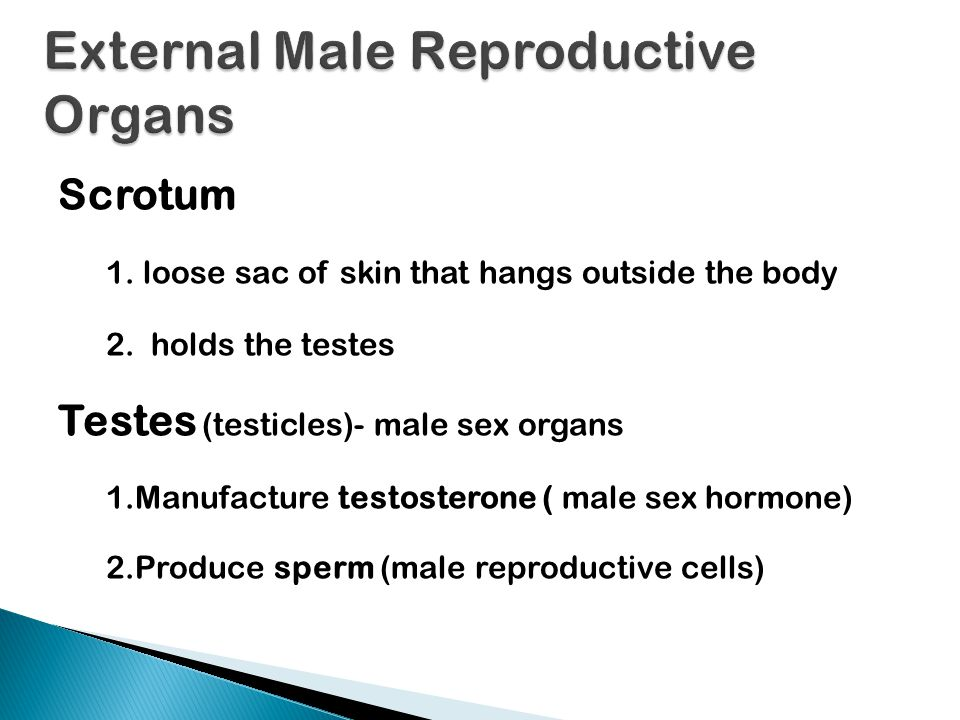 External Male Reproductive Organs