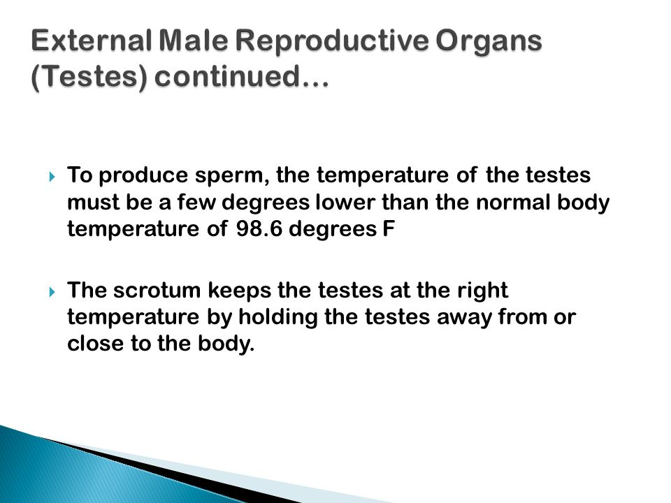 External Male Reproductive Organs (Testes) continued…