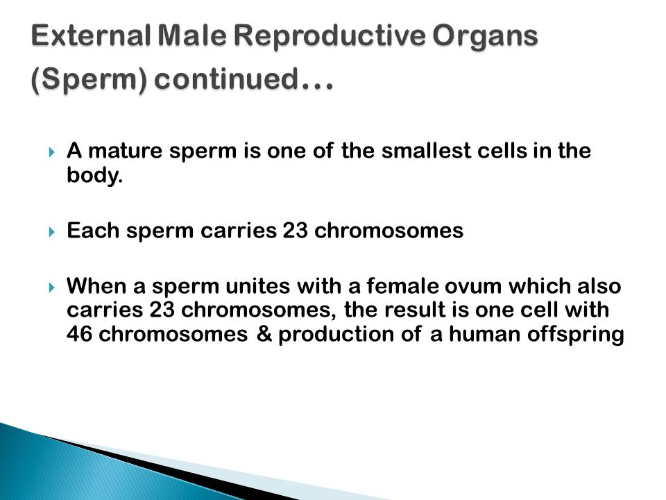 External Male Reproductive Organs (Sperm) continued…