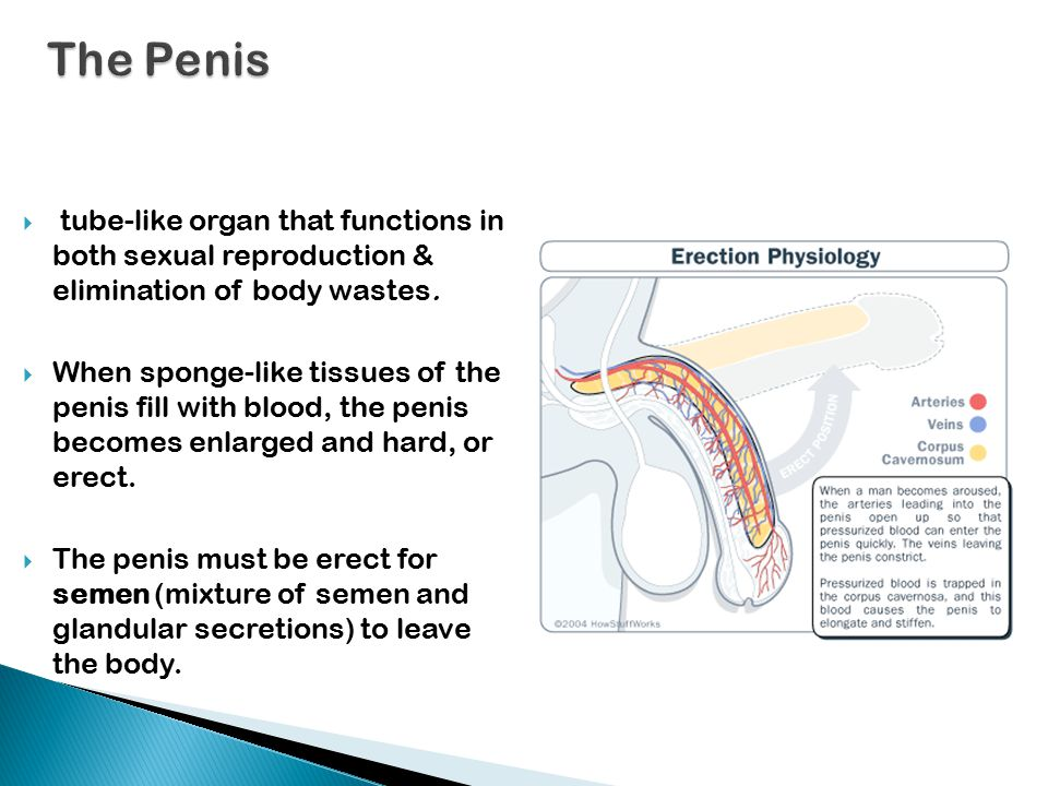 The Penis tube-like organ that functions in both sexual reproduction & elimination of body wastes.