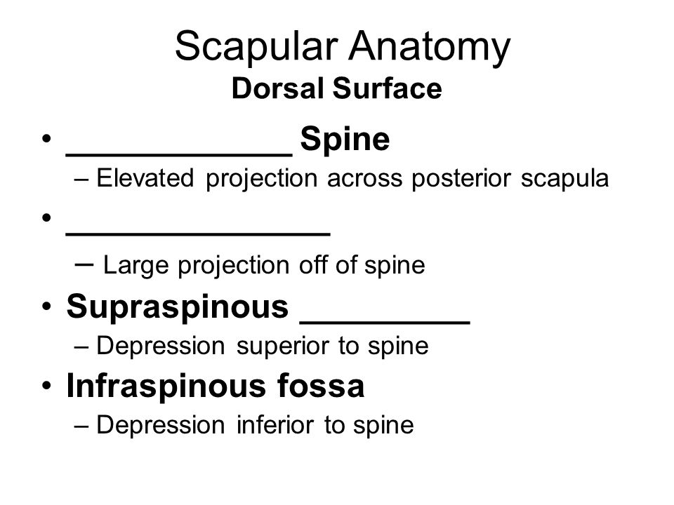 Scapular Anatomy Dorsal Surface