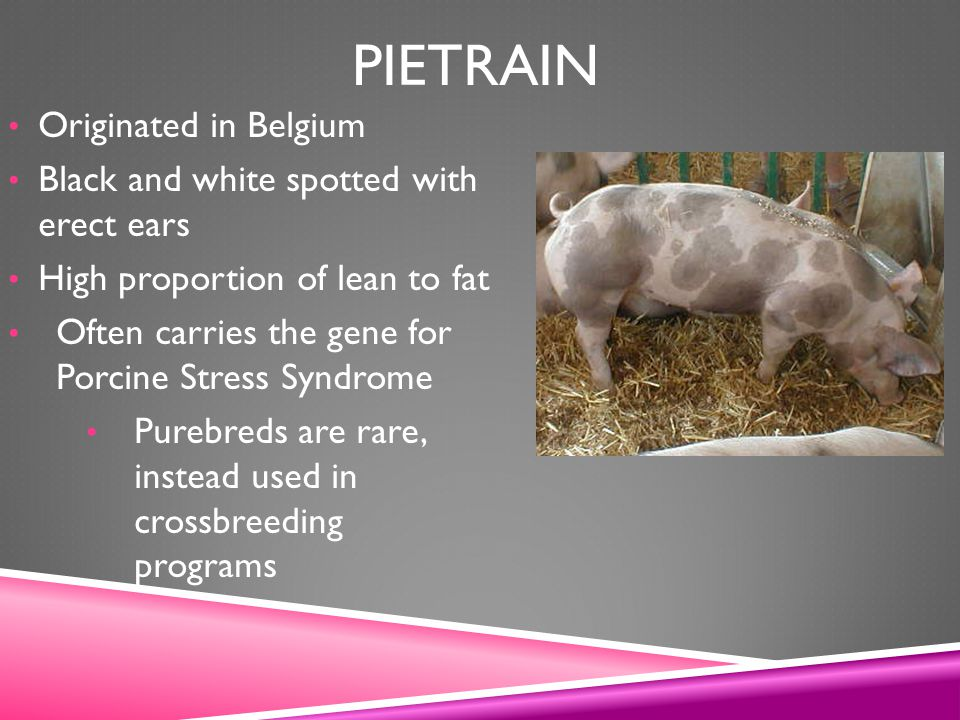 Pietrain Originated in Belgium Black and white spotted with erect ears