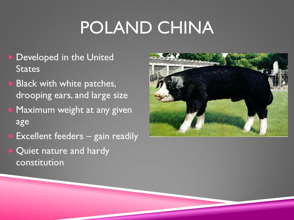 Poland China Developed in the United States