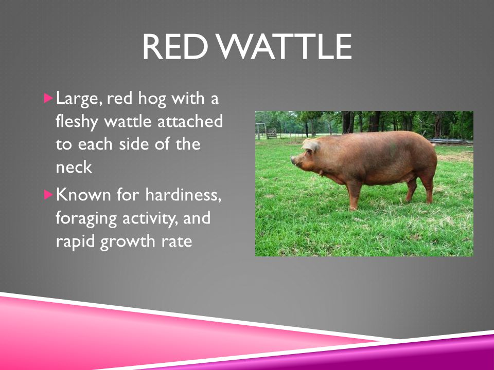 Red Wattle Large, red hog with a fleshy wattle attached to each side of the neck.