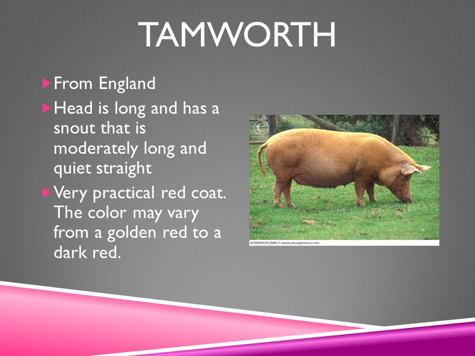 Tamworth From England. Head is long and has a snout that is moderately long and quiet straight.
