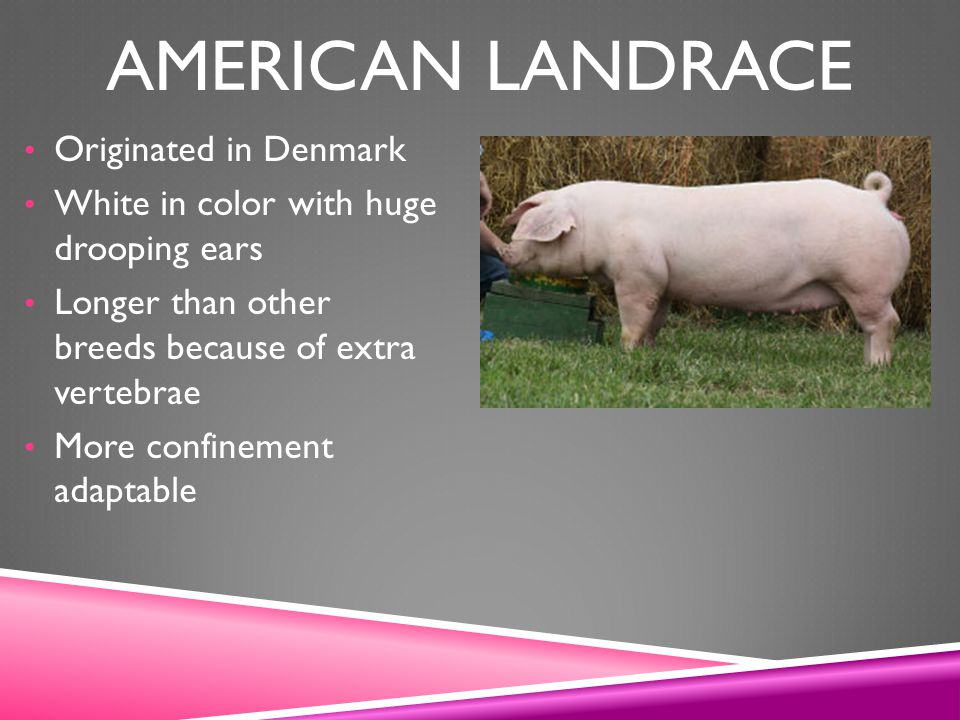 American Landrace Originated in Denmark