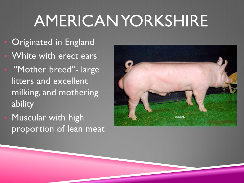 American Yorkshire Originated in England White with erect ears