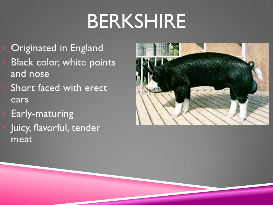 Berkshire Originated in England Black color, white points and nose