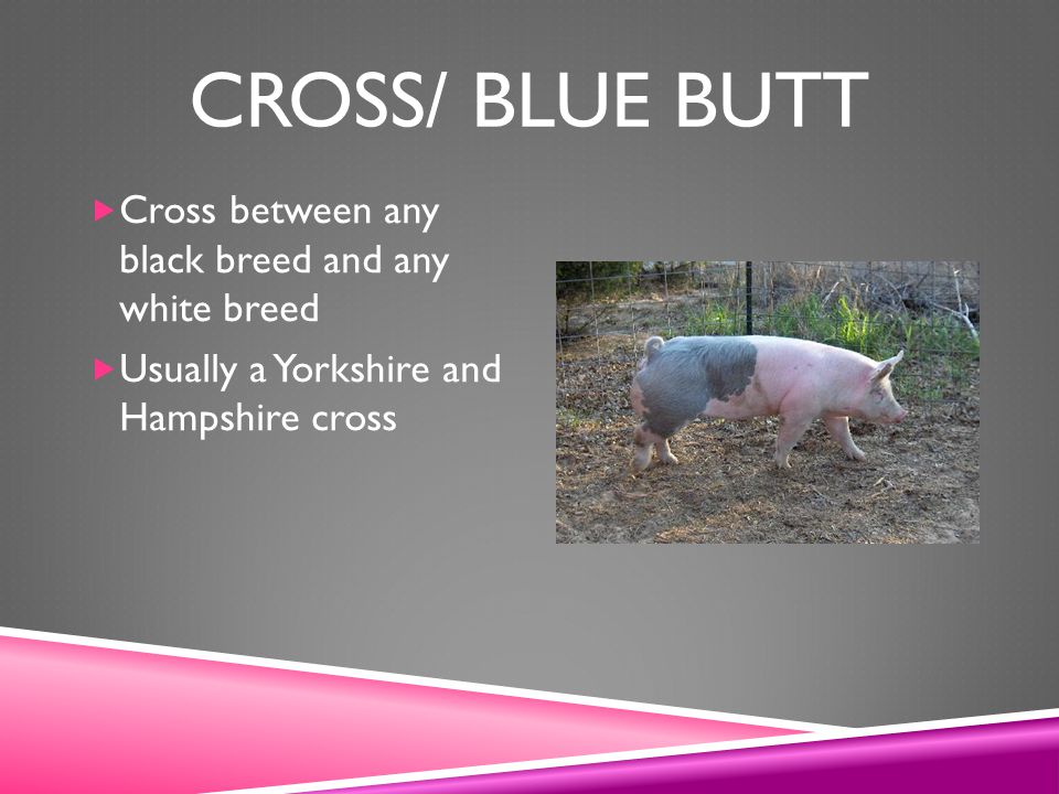 Cross/ Blue Butt Cross between any black breed and any white breed