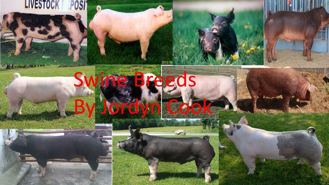Swine Breeds By Jordyn Cook