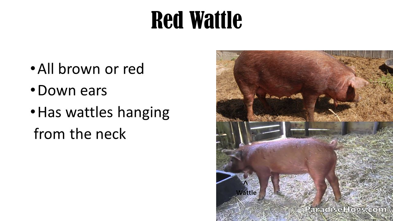 Red Wattle All brown or red Down ears Has wattles hanging