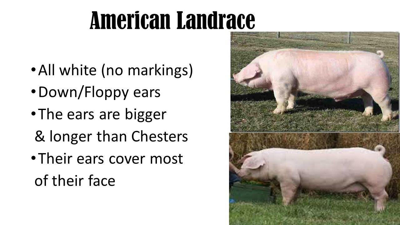 American Landrace All white (no markings) Down/Floppy ears
