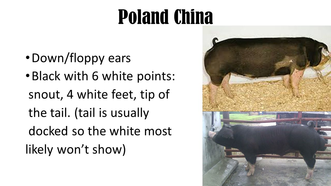 Poland China Down/floppy ears Black with 6 white points: