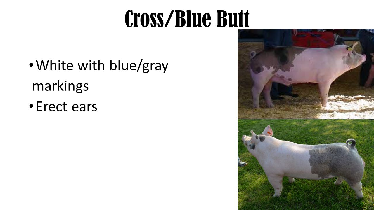 Cross/Blue Butt White with blue/gray markings Erect ears