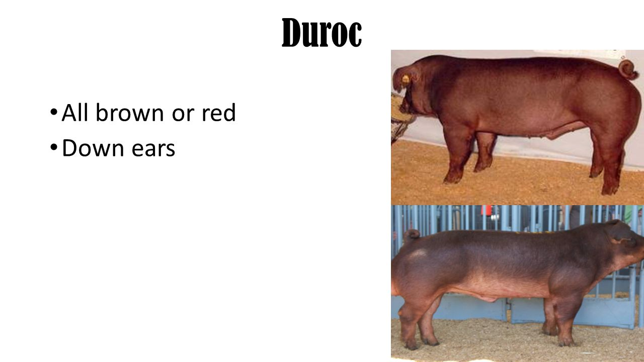 Duroc All brown or red Down ears