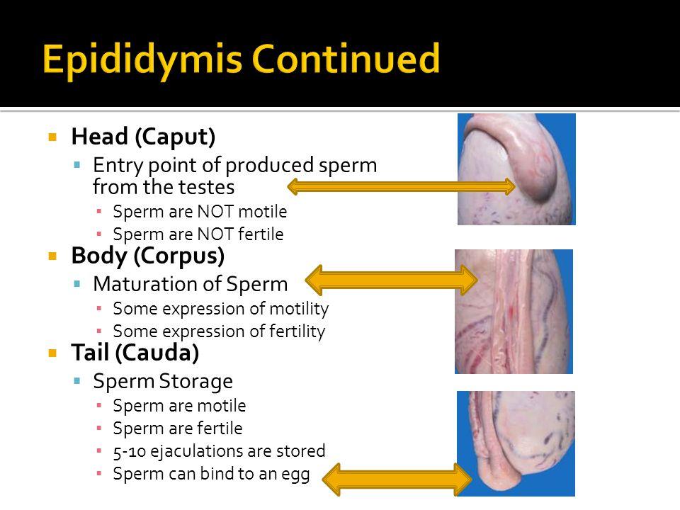 Epididymis Continued Head (Caput) Body (Corpus) Tail (Cauda)