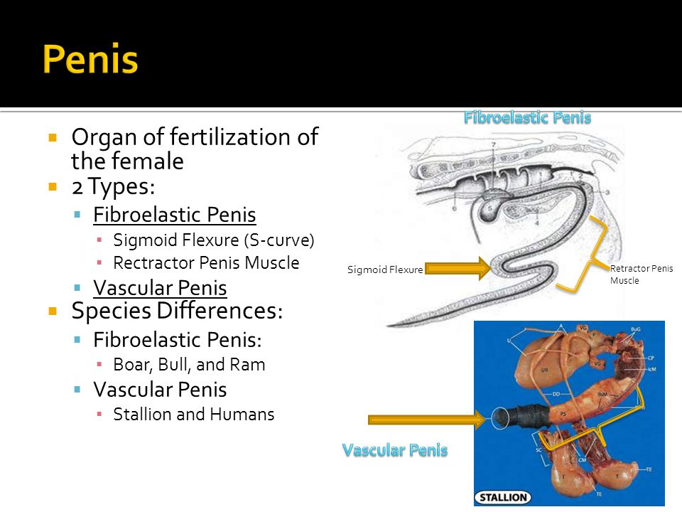 Penis Organ of fertilization of the female 2 Types: