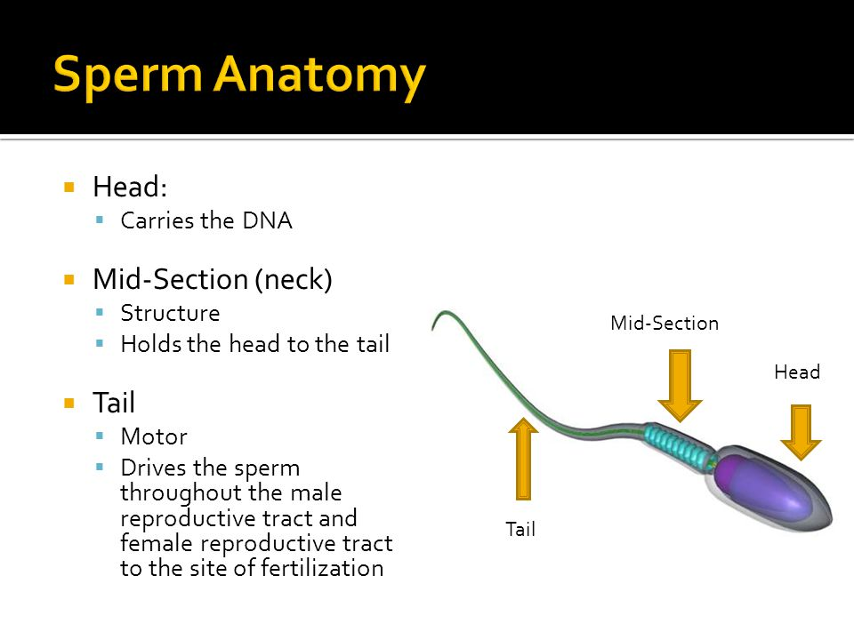 Sperm Anatomy Head: Mid-Section (neck) Tail Carries the DNA Structure