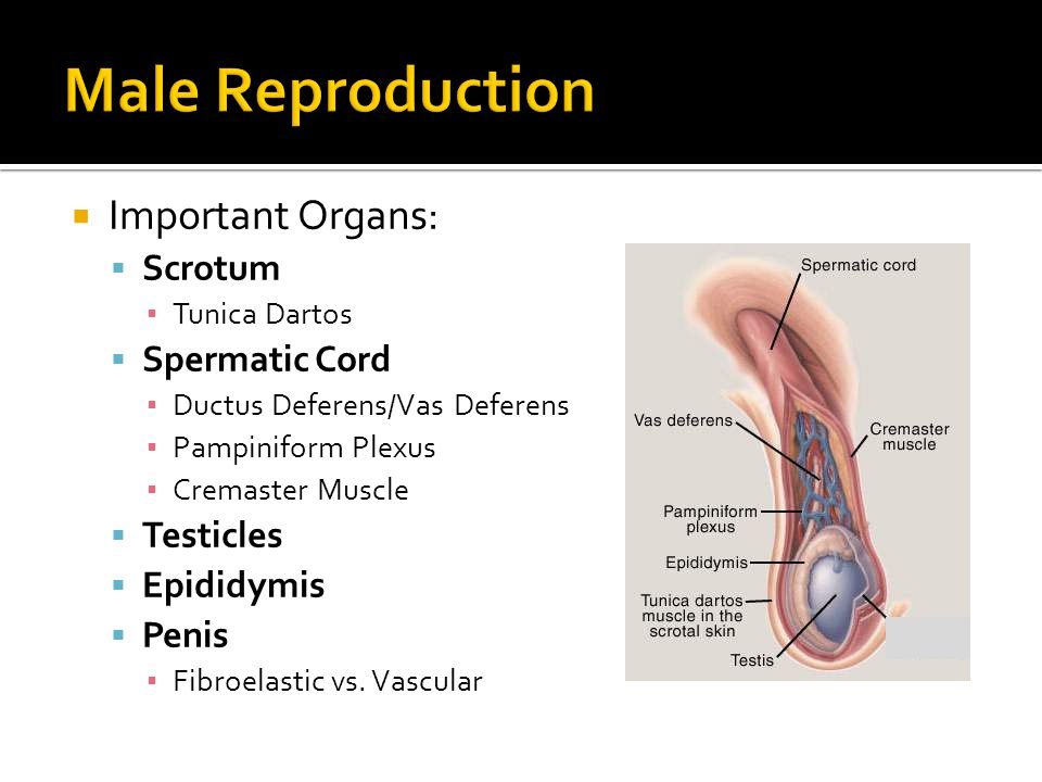 Male Reproduction Important Organs: Scrotum Spermatic Cord Testicles