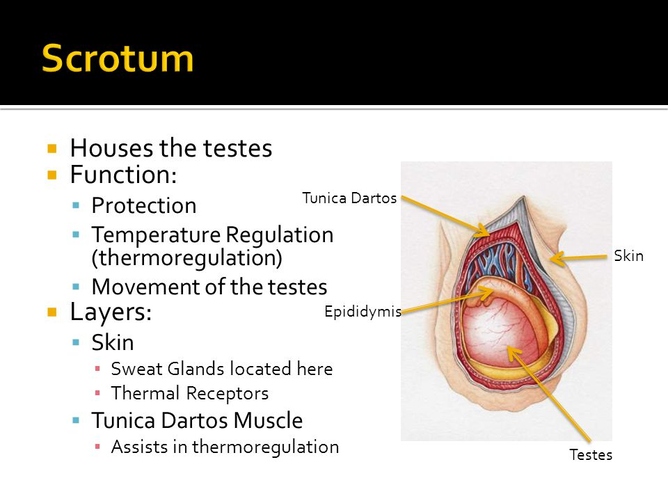 Scrotum Houses the testes Function: Layers: Protection