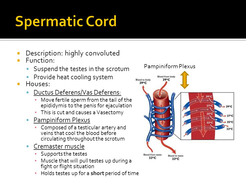 Spermatic Cord Description: highly convoluted Function: Houses: