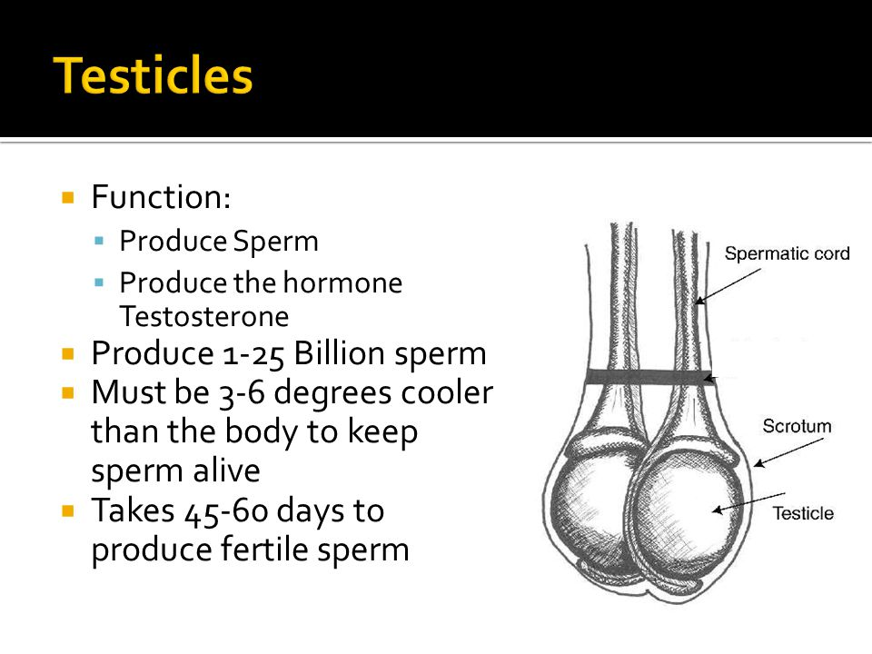 Testicles Function: Produce 1-25 Billion sperm