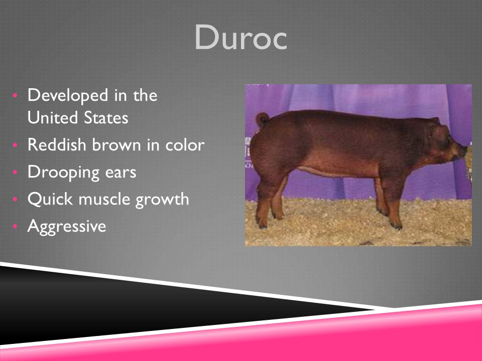 Duroc Developed in the United States Reddish brown in color