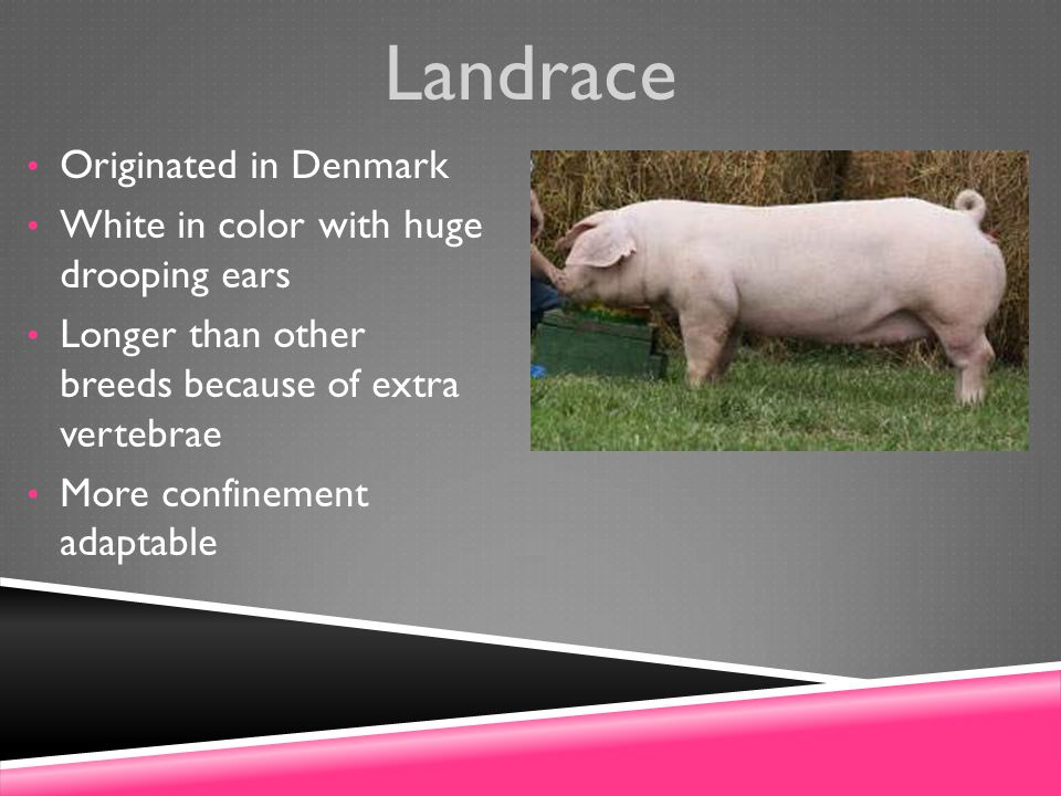 Landrace Originated in Denmark White in color with huge drooping ears