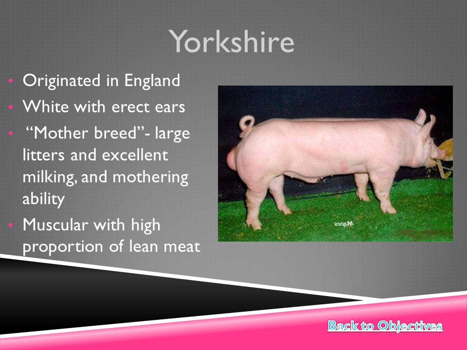 Yorkshire Originated in England White with erect ears