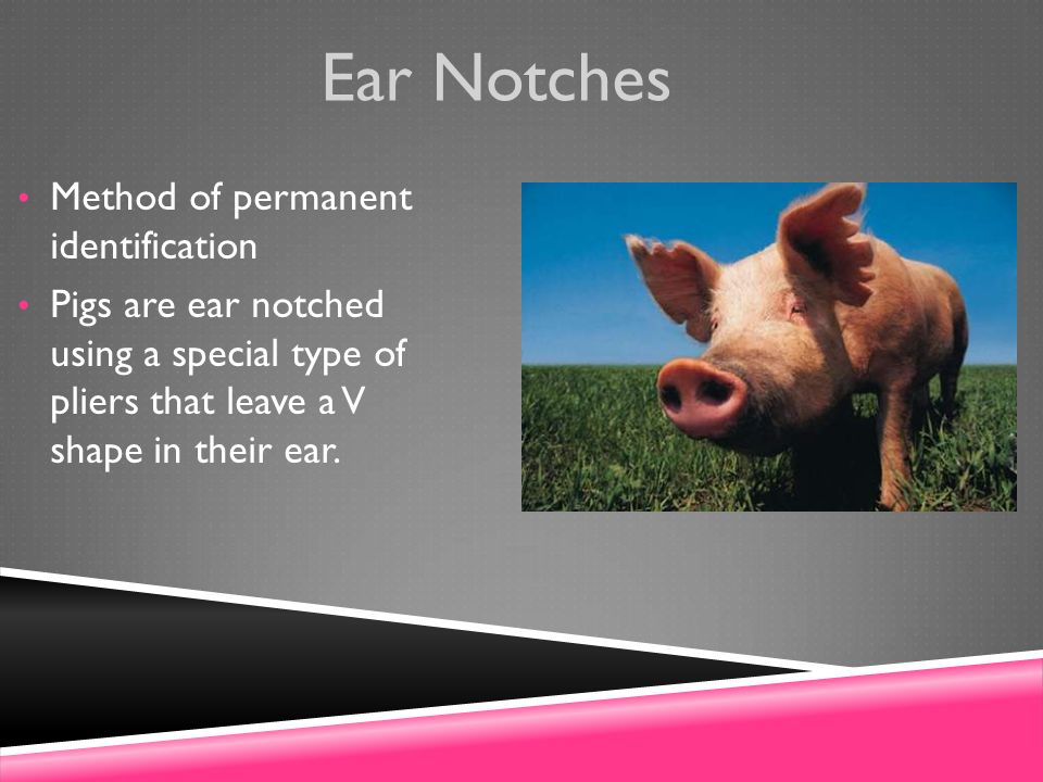 Ear Notches Method of permanent identification