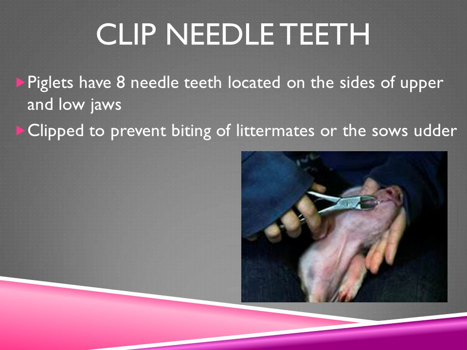 Clip needle teeth Piglets have 8 needle teeth located on the sides of upper and low jaws.
