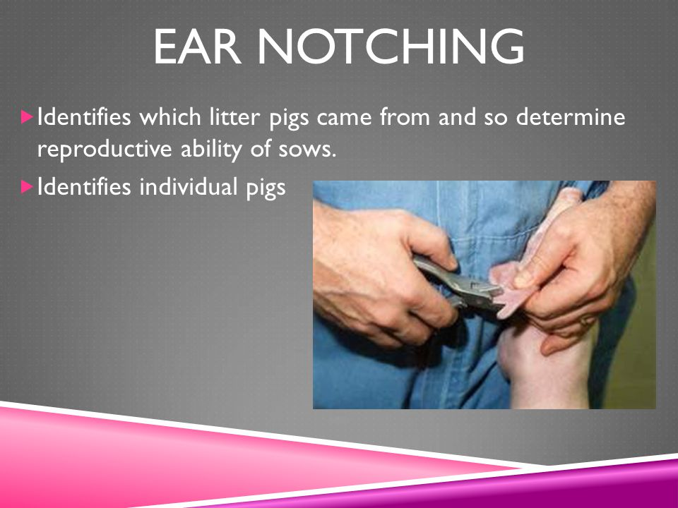 Ear Notching Identifies which litter pigs came from and so determine reproductive ability of sows.
