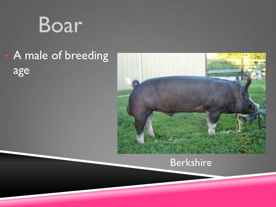 Boar A male of breeding age Berkshire