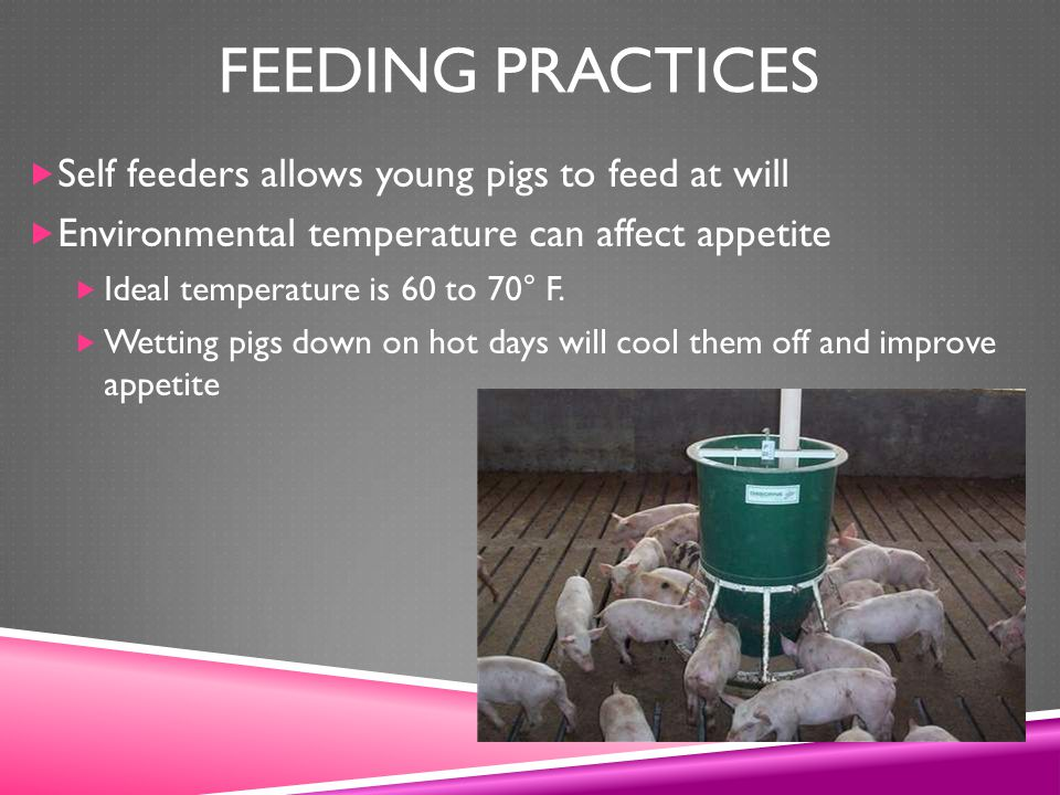Feeding Practices Self feeders allows young pigs to feed at will