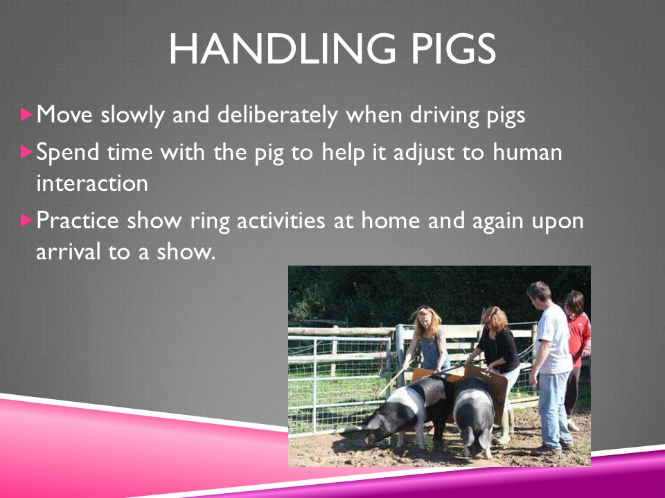 Handling pigs Move slowly and deliberately when driving pigs