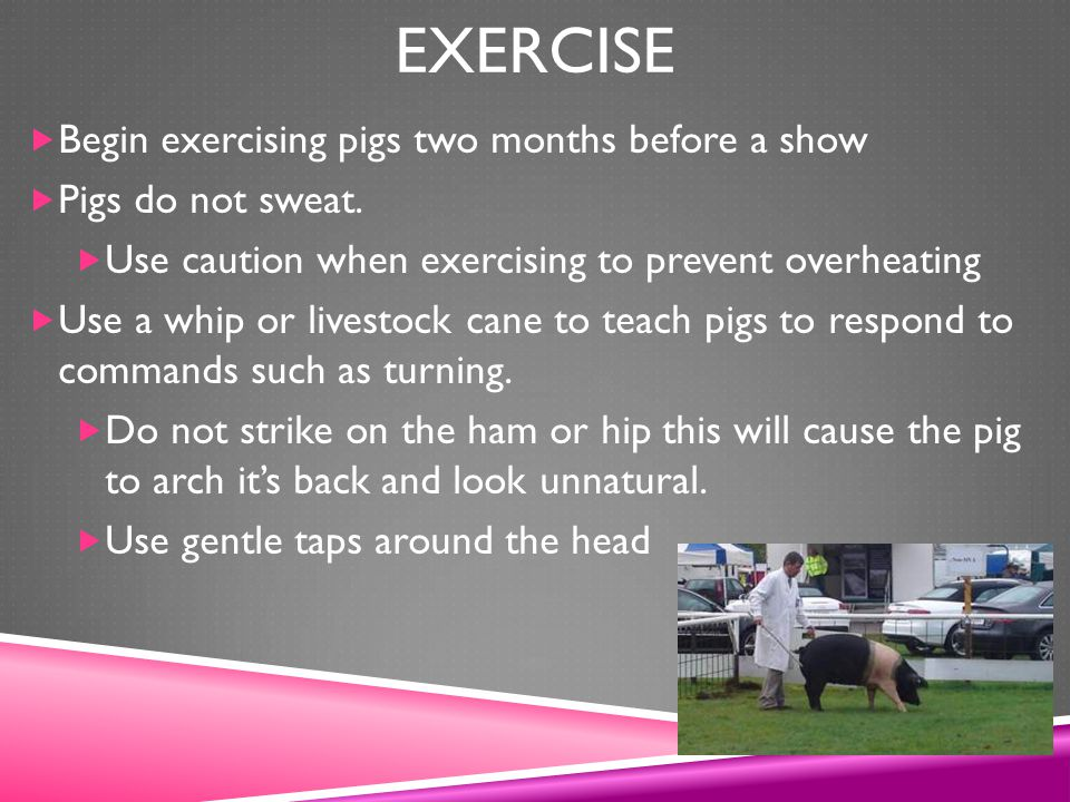 Exercise Begin exercising pigs two months before a show