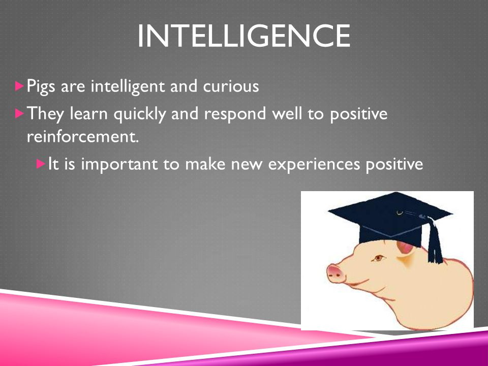 Intelligence Pigs are intelligent and curious