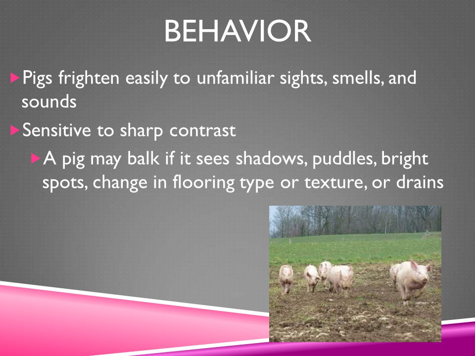 Behavior Pigs frighten easily to unfamiliar sights, smells, and sounds