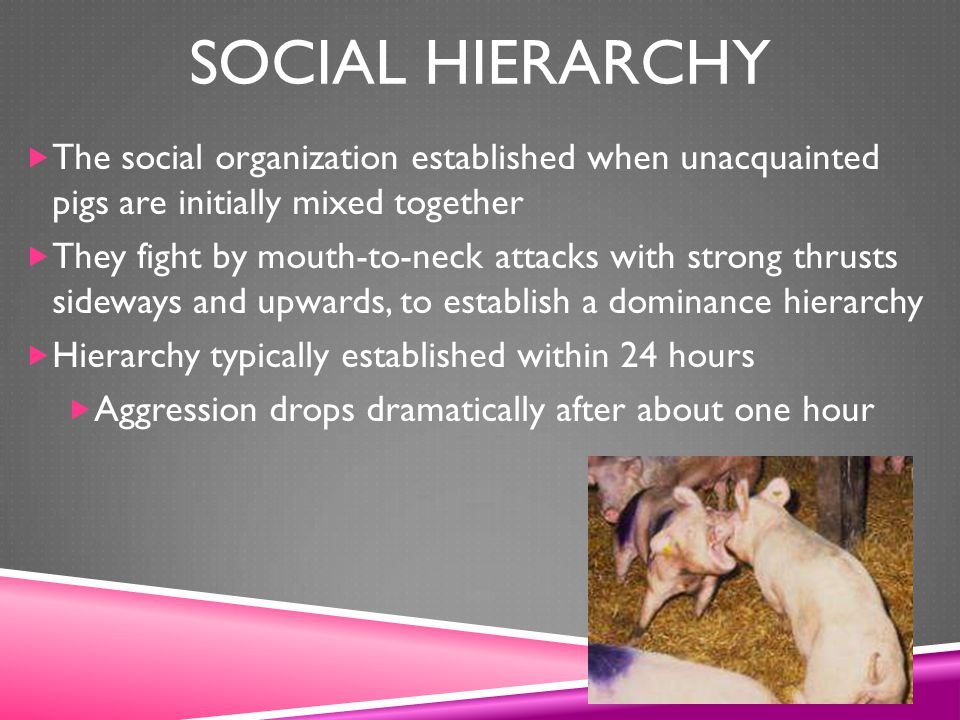 Social Hierarchy The social organization established when unacquainted pigs are initially mixed together.