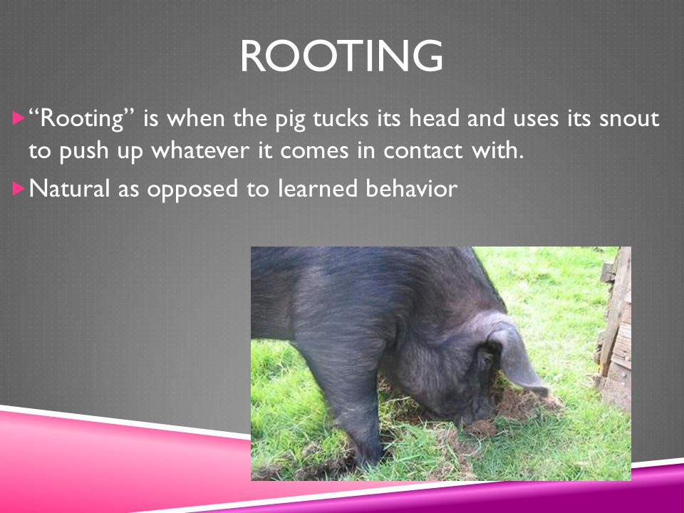 Rooting Rooting is when the pig tucks its head and uses its snout to push up whatever it comes in contact with.