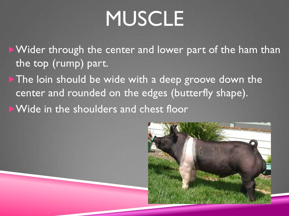 Muscle Wider through the center and lower part of the ham than the top (rump) part.