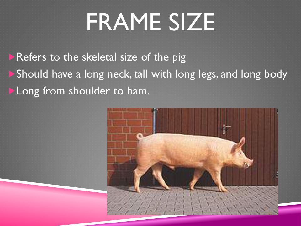 Frame Size Refers to the skeletal size of the pig