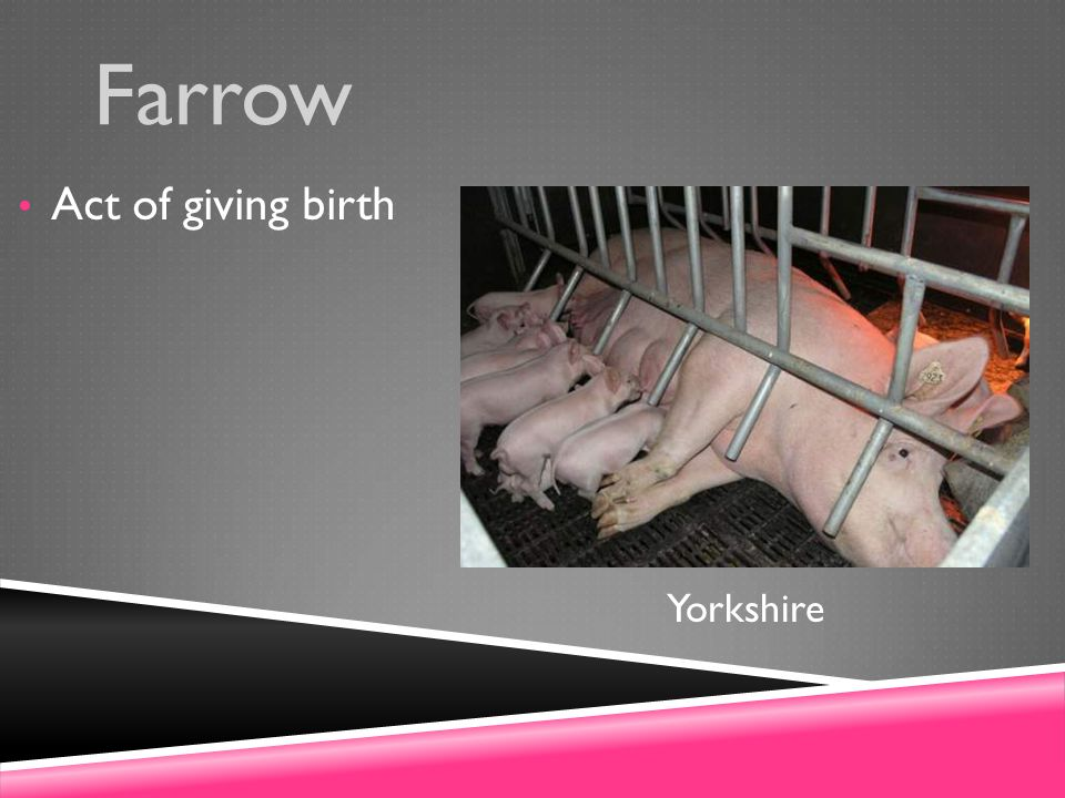 Farrow Act of giving birth Yorkshire