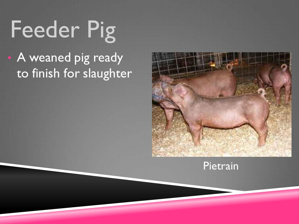 Feeder Pig A weaned pig ready to finish for slaughter Pietrain